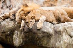 Lwa Panthera Leo Obraz Royalty Free