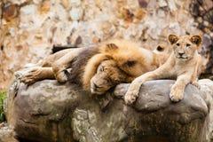 Lwa Panthera Leo Fotografia Royalty Free