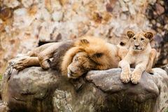 Lwa Panthera Leo Zdjęcie Stock