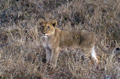 Lwa (Panthera Leo) lisiątko Obraz Stock