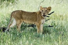 Lwa (Panthera Leo) lisiątko Obrazy Stock