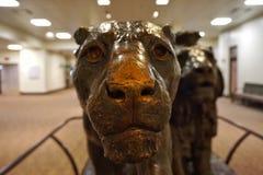 Lwa pokaz w The Field muzeum Obraz Stock