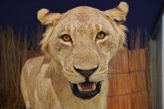 Lwa pokaz w The Field muzeum Zdjęcia Royalty Free