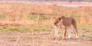 Lwa polowanie Zdjęcia Royalty Free