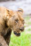 Lwa polowanie Fotografia Royalty Free