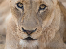 lwa portret Fotografia Royalty Free