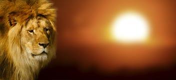 Lwa portret przy zmierzchem obraz stock