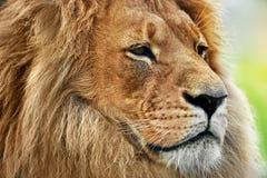 Lwa portret z bogatą grzywą na sawannie, safari Fotografia Stock