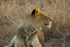 lwa słońce Fotografia Royalty Free