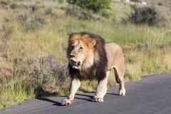 lwa samiec odprowadzenie Obrazy Royalty Free