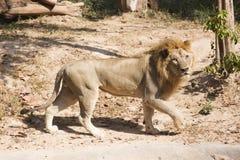 lwa samiec odprowadzenie Zdjęcia Royalty Free