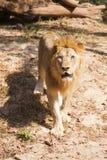 lwa samiec odprowadzenie Obraz Royalty Free