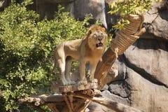 lwa samiec odprowadzenie Fotografia Royalty Free