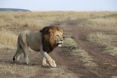 Lwa spacer w dzikim maasai Mara zdjęcie stock