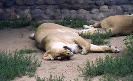 Lwa ssaka dużego kota dumy sawanny India Afryka szczęki fangs królewiątko bestie obrazy stock