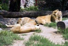 Lwa ssaka dużego kota dumy sawanny India Afryka szczęki fangs królewiątko bestie fotografia stock