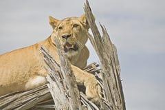 lwa wspinaczkowy drzewo Zdjęcia Royalty Free