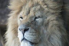 Lwa zamknięty up Zdjęcie Stock