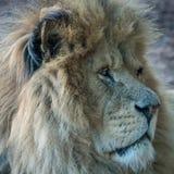 Lwa zamknięty up Obraz Royalty Free
