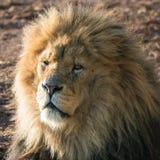 Lwa zamknięty up Obrazy Royalty Free