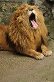 lwa ziewanie fotografia royalty free
