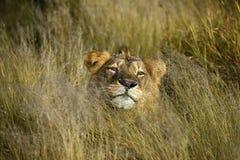 lwa zimny złocisty gapienie fotografia stock