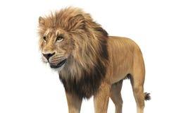 Lwa zwierzęcy beżowy futerko, zamknięty widok ilustracja wektor