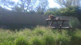 Lwa zwierzę Zdjęcia Royalty Free