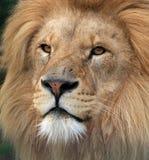 Löwe Lizenzfreies Stockbild