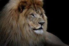 Löwe auf Schwarzem Stockfoto