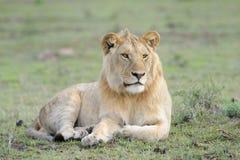 Löwe, der im Gras liegt Lizenzfreie Stockfotos