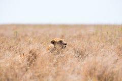 Löwe, der im Gras sich versteckt Lizenzfreies Stockfoto