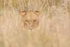 Löwe, der im Gras sich versteckt Stockbild