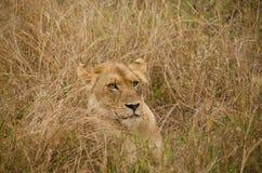 Löwe, der im hohen Gras sich versteckt Lizenzfreie Stockfotografie