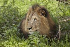 Löwe, der im Schatten des Baums liegt Stockbilder
