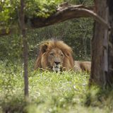 Löwe liegt im Schatten des Baums Lizenzfreie Stockbilder