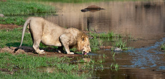 Löwe trinkt von den Querneigungen des Flusses Lizenzfreie Stockfotografie