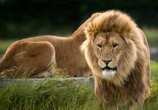 Löwen Lizenzfreies Stockbild