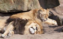 Löwen, die im Zoo von Amsterdam schlafen Lizenzfreies Stockfoto