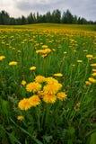 Löwenzahn unter Blumen Stockfotografie