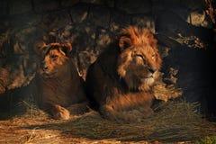 Löwepaare Lizenzfreie Stockfotografie