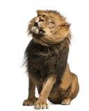 Löwesitzen, rüttelnd, Panthera Löwe, 10 Jahre alt Lizenzfreie Stockbilder