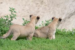 Löwezwillinge Lizenzfreies Stockbild