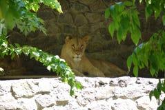 Lwic kłamstwa w cieniu klauzury otaczającej zielonymi gałąź zoo, miejsce rodzina odpoczynek z dziećmi Zdjęcia Royalty Free