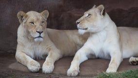 Lwic siostry w Toronto zoo Obraz Stock