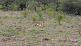 Lwic warczenia I Odpoczywać Na trawie Wokoło Jej Bawić się Małych lwów Cubs, zbiory wideo