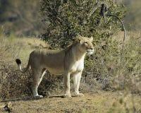 Lwica Zdjęcie Stock