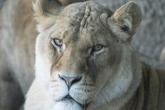 Lwica Obraz Royalty Free