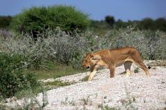 lwica obrazy royalty free