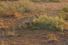 Lwica biec sprintem w Kruger parku narodowym, Południowa Afryka zdjęcia royalty free